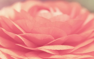 Pink Rose wallpapers and stock photos