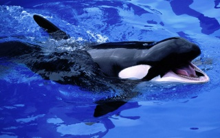 Feed Mel killer whale wallpapers and stock photos