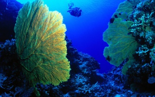 Gorgonian fan wallpapers and stock photos