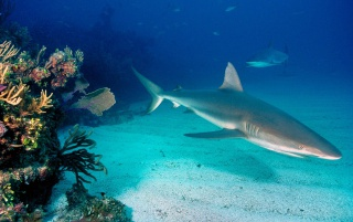 Grey reef sharks wallpapers and stock photos