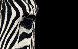 Zebra wallpapers and stock photos