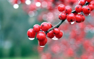 Red Berries wallpapers and stock photos