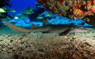 Nurse Shark wallpapers and stock photos