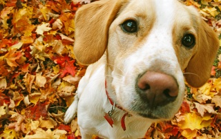 Beagle wallpapers and stock photos