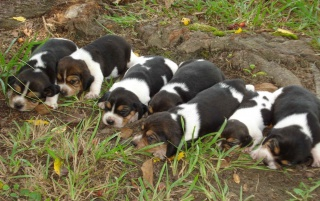 Beagle Puppies wallpapers and stock photos
