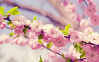 Japanese Cherry Blossom wallpapers and stock photos