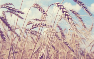 Wheat wallpapers and stock photos