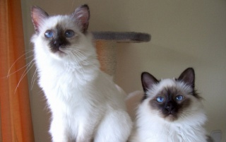 Two Birman Cats wallpapers and stock photos