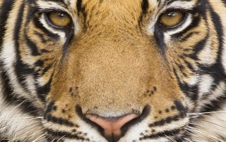 Mighty Tiger wallpapers and stock photos
