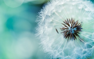 Next: Blue Dandelion Macro
