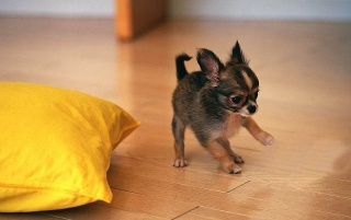 Cute Chihuahua Puppy Playing wallpapers and stock photos