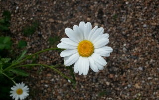 Charleston Daisy wallpapers and stock photos