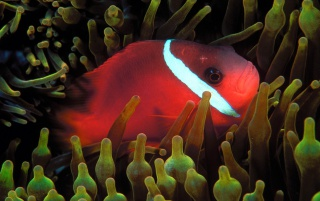 Red Anemonefish wallpapers and stock photos