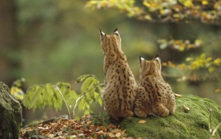 Lynxes in Nature wallpapers and stock photos