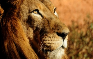 Lion Close-up wallpapers and stock photos