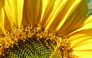 Sunflower Macro wallpapers and stock photos
