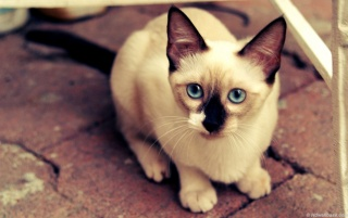 Next: Blue Eyes Siamese Cat