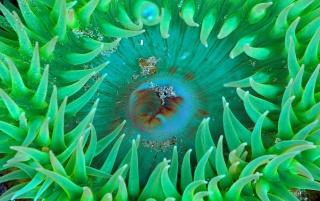 Sea anemone wallpapers and stock photos