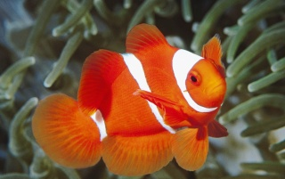 Spine Anemonefish wallpapers and stock photos