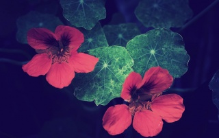 Red Flowers wallpapers and stock photos
