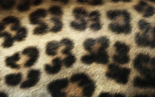 Leopard Print wallpapers and stock photos