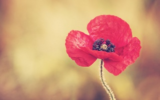 Random: Red Poppy Flower