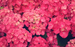 Pink Flowers wallpapers and stock photos
