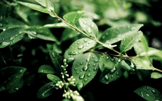 Fresh Green Leaves wallpapers and stock photos