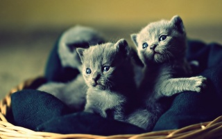 Lovable Blue Russian Kittens wallpapers and stock photos