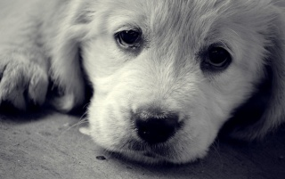 Sad Puppy wallpapers and stock photos