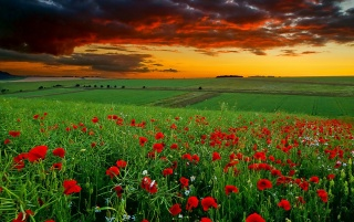 Poppy Field at Sunset wallpapers and stock photos