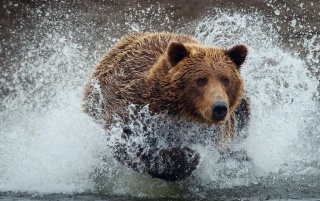 Bear wallpapers and stock photos