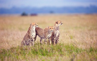 Cheetah Family wallpapers and stock photos