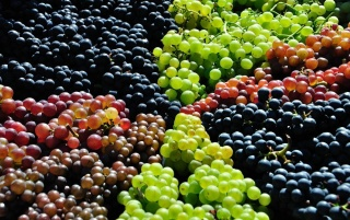 Grape Harvest wallpapers and stock photos