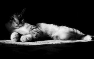 Lazy Kitten in Black and White wallpapers and stock photos