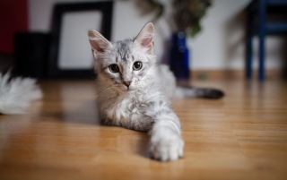 Cute Gray Kitten Indoors wallpapers and stock photos