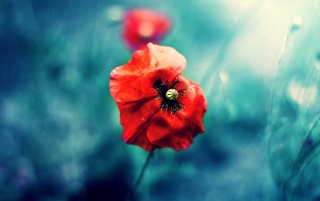 Wild Red Poppy wallpapers and stock photos