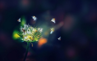 Dandelion Seeds Macro wallpapers and stock photos