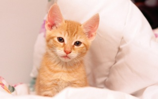 Cure Little Orange Kitten wallpapers and stock photos
