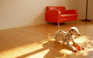 Dalmatian Puppy Playing Indoors wallpapers and stock photos