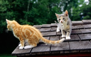 Red and Gray Kittens on Rooftop wallpapers and stock photos