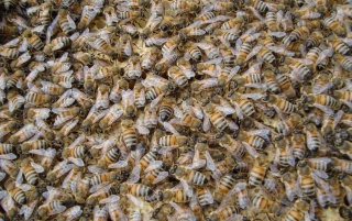 Bees wallpapers and stock photos