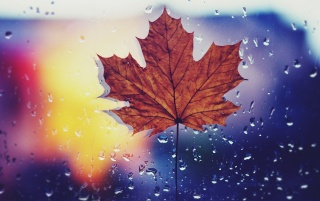 Dried Maple Leaf wallpapers and stock photos