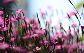 Pink Flowers Field wallpapers and stock photos