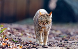 Cat Walking wallpapers and stock photos