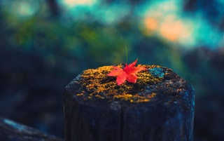 Lonely Maple Leaf wallpapers and stock photos