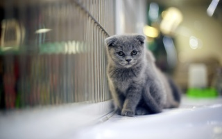 Grumpy Gray Kitten wallpapers and stock photos