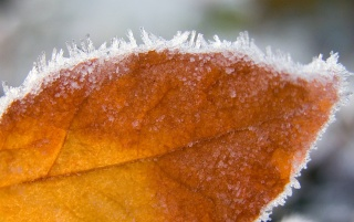 Frozen Leaf wallpapers and stock photos