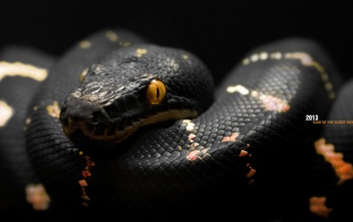 2013 Year of The Black Snake wallpapers and stock photos