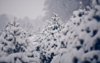 Snow on Pine Trees wallpapers and stock photos